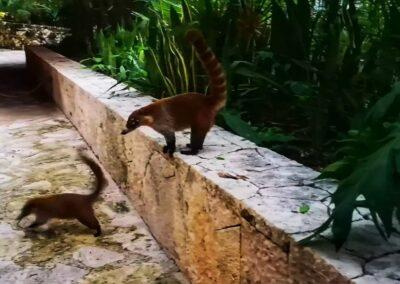 Paradise River coatis