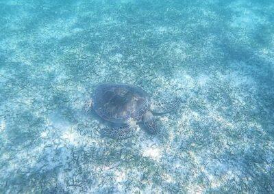 turtle Akumal4